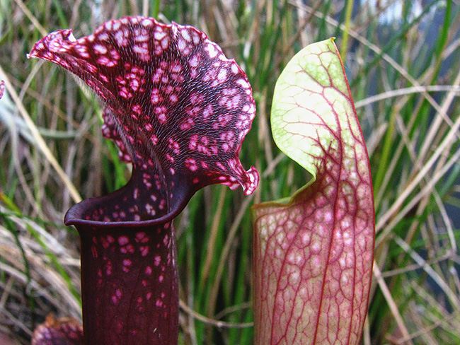Similarly, scientists are looking to the carnivorous pitcher plant. When moisture hits the roughness inside the tubes, it clings to it, forming a wet top layer. Researchers are developing ways to treat aluminum so liquid water slides off before it has a chance to freeze. Photos courtesy of the Aizenberg Lab/Harvard SEAS