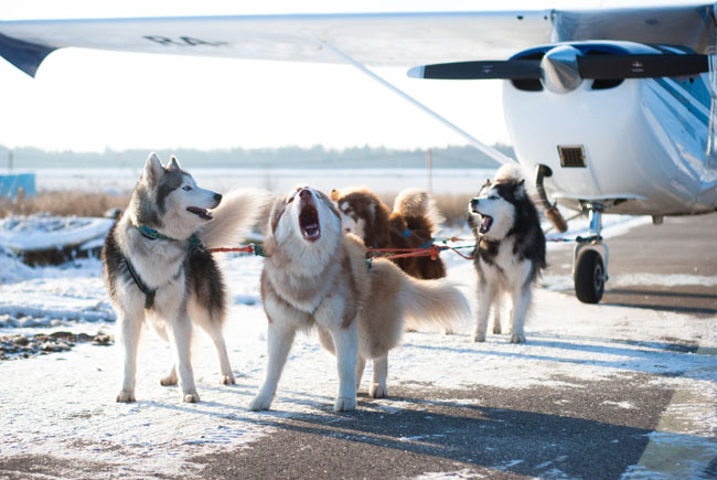 Sled dogs pulling an airplane