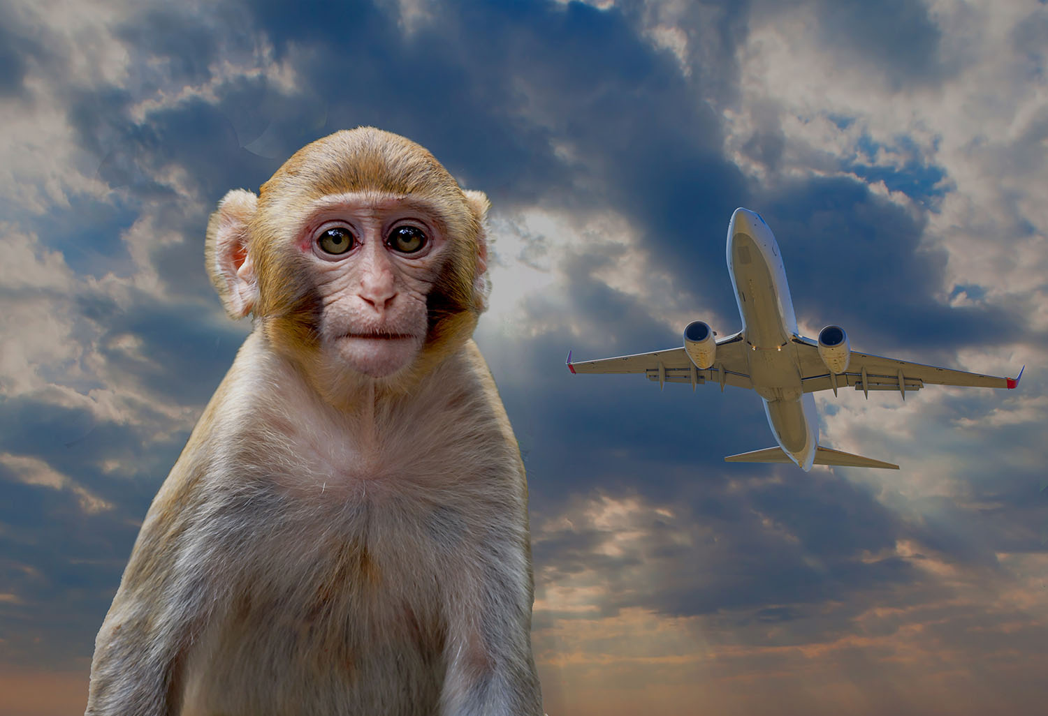 Least Expected U.S. Pandemic Effect? Airport Monkeys