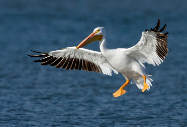 Investigators later determined that the birds the Citation had struck were American white pelicans, one of the largest North American bird species.